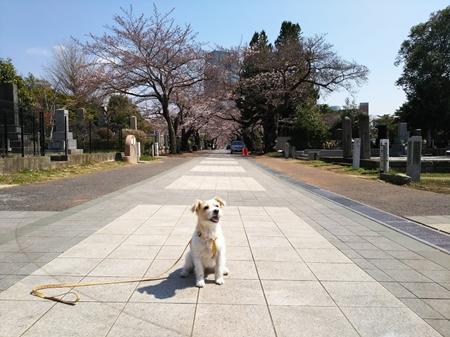 2017-04-03 青山墓地にて
