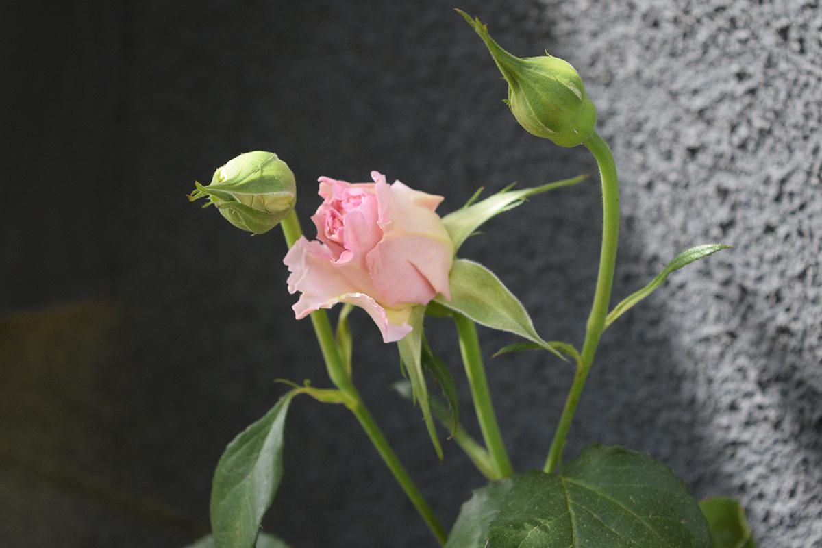 バラ ラ・マリエ つぼみ