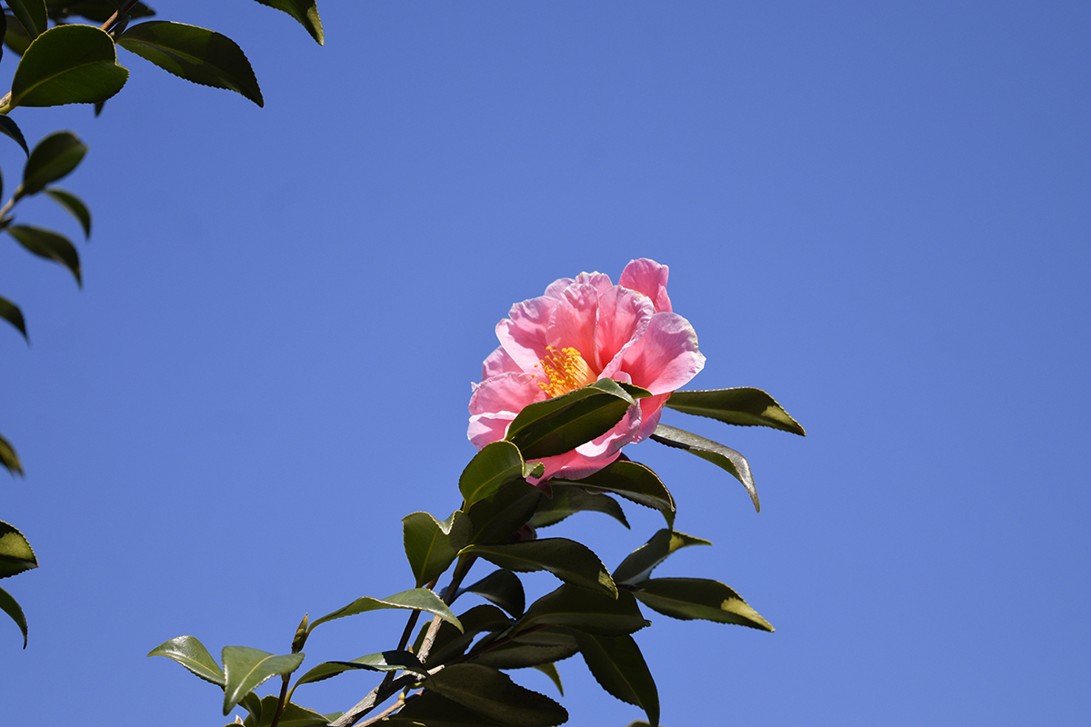 青空に向かって咲く椿