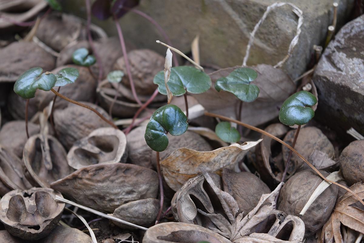 シクラメンコウムの芽