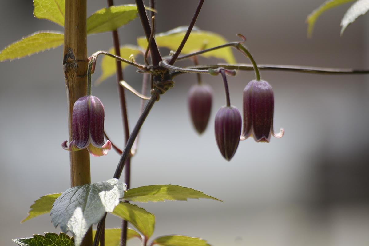 開花しはじめたハンショウヅル