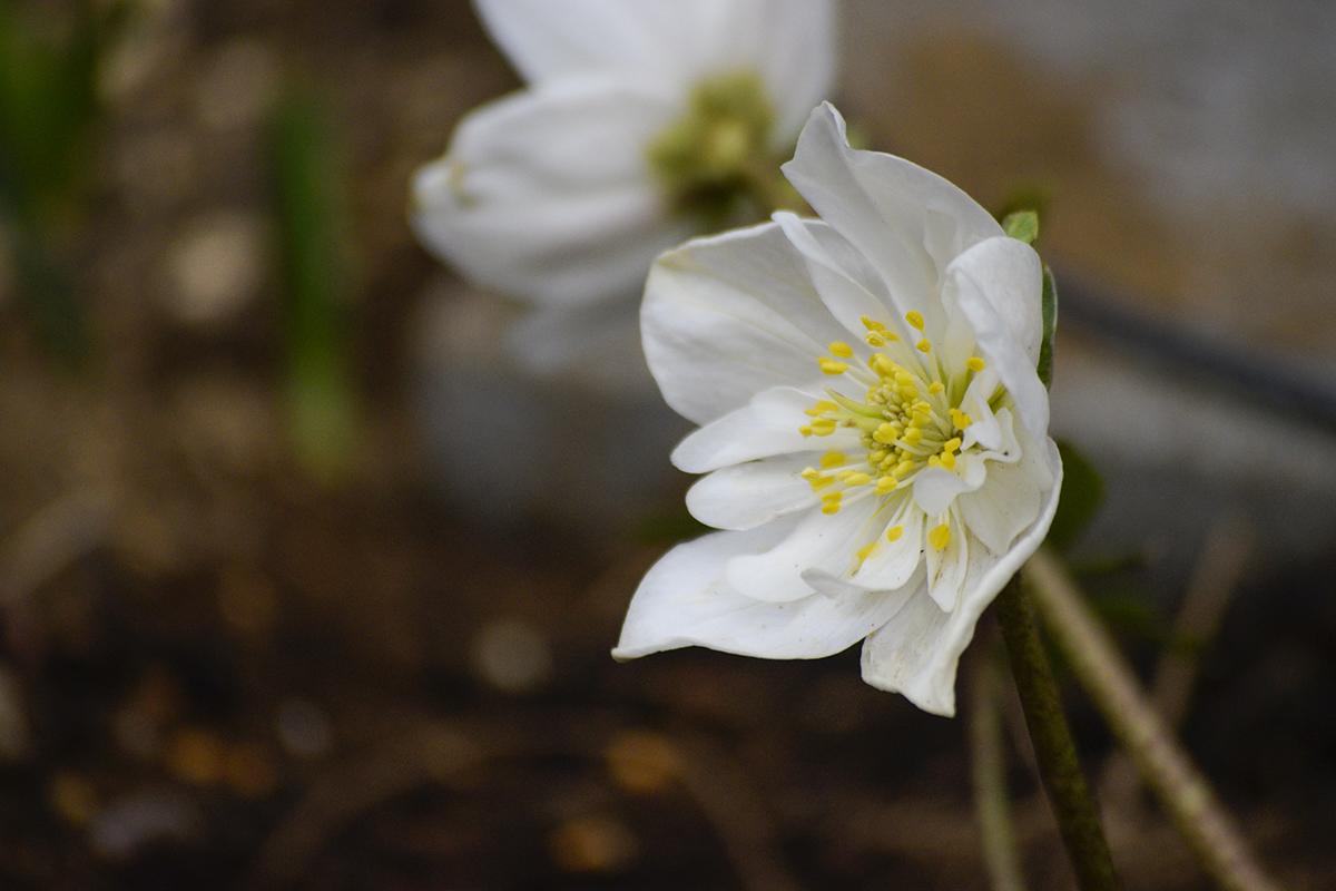 ニゲラダブルファンタジー 開花