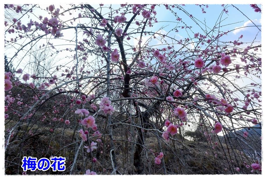DSC_7046 まだ梅の花