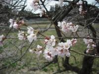 2017-04-17しろぷーうさぎ15