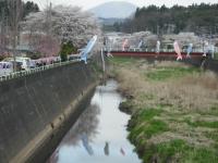 2017-04-21しろぷーうさぎ鯉35