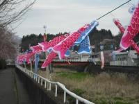 2017-04-21しろぷーうさぎ鯉42