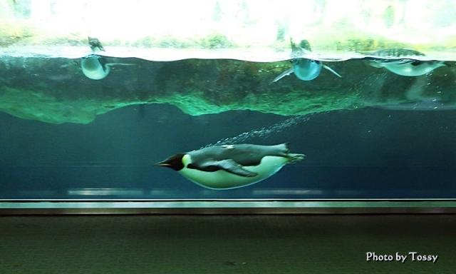 泳ぐ皇帝ペンギン
