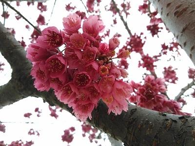 nagainosakura2.jpg