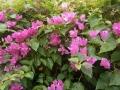 庭のブーゲンビリヤ2