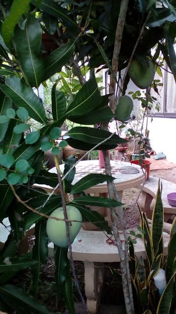 庭のマンゴー1