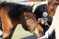 170407 木曽馬&ミニチュアホース-05