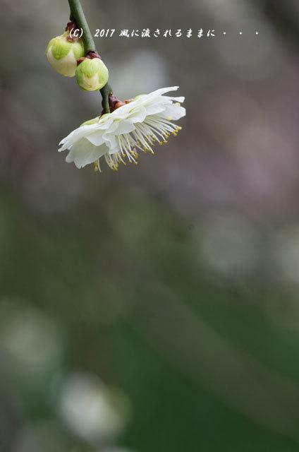 【2017年2月18日撮影】 和泉リサイクル環境公園 梅の花10