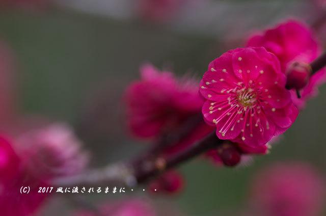 【2017年2月18日撮影】 和泉リサイクル環境公園 梅の花9