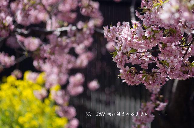 京都・淀水路に咲く河津桜と菜の花1