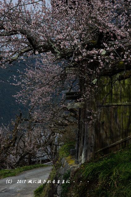奈良の絶景! 賀名生梅林(あのうばいりん)の風景18
