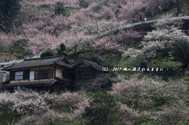 奈良の絶景! 賀名生梅林(あのうばいりん)の風景4