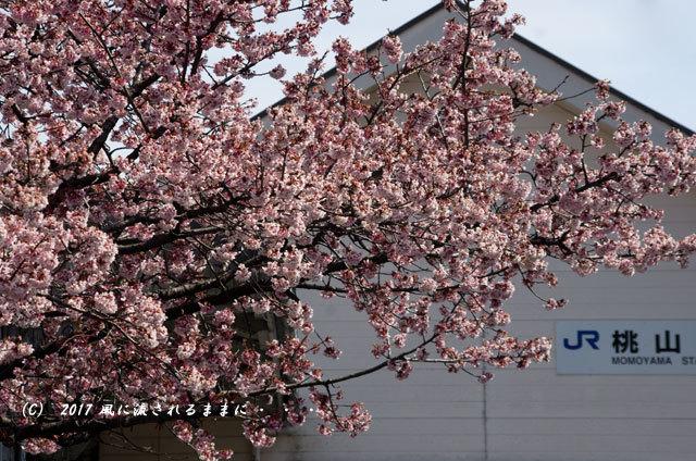 JR桃山駅で咲く早咲きの桜1