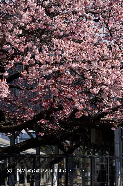 JR桃山駅で咲く早咲きの桜3