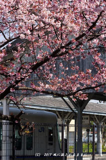 JR桃山駅で咲く早咲きの桜6