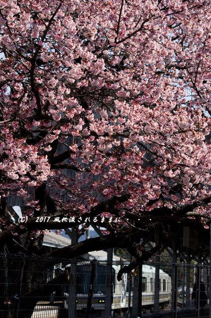 JR桃山駅で咲く早咲きの桜8