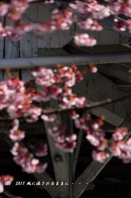 JR桃山駅で咲く早咲きの桜9