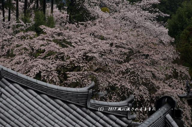 桜の情景 奈良・雨の九品寺の桜11