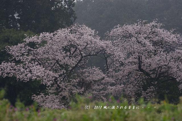 桜の情景 奈良・雨の九品寺の桜18