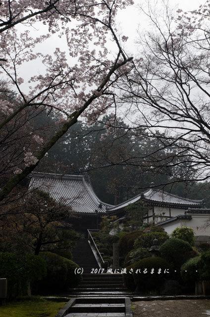 桜の情景 奈良・雨の九品寺の桜6