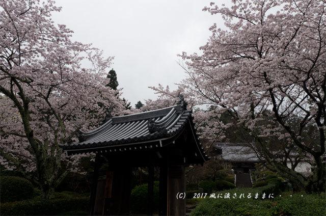 桜の情景 奈良・雨の九品寺の桜2