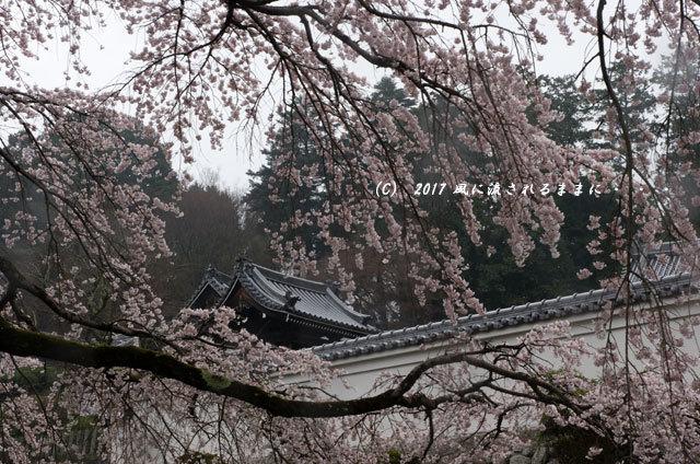 桜の情景 奈良・雨の九品寺の桜5