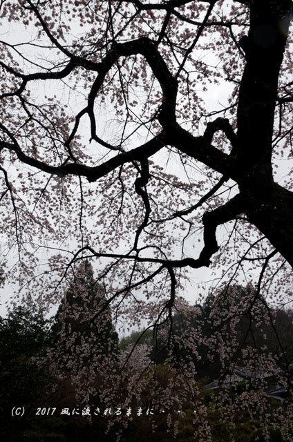 桜の情景 奈良・雨の九品寺の桜7