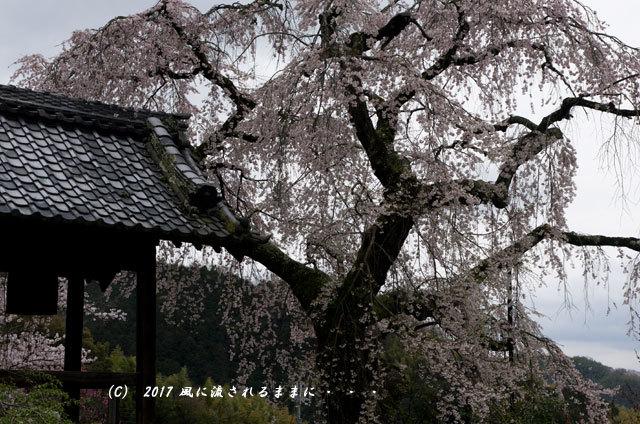桜の情景 京都・地蔵禅院のしだれ桜1