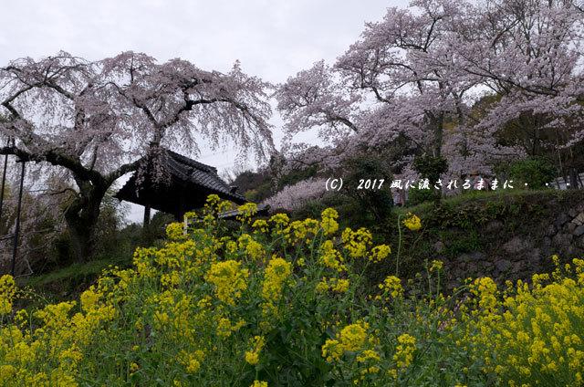 桜の情景 京都・地蔵禅院のしだれ桜7