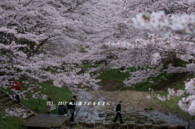 桜の情景 京都・玉川の桜並木4