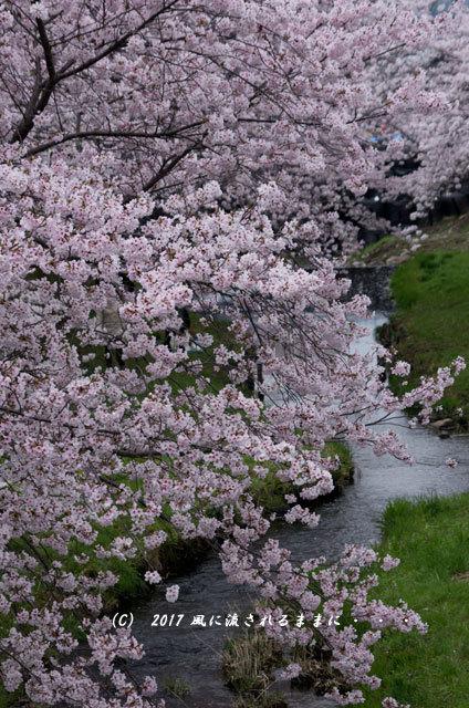 桜の情景 京都・玉川の桜並木1
