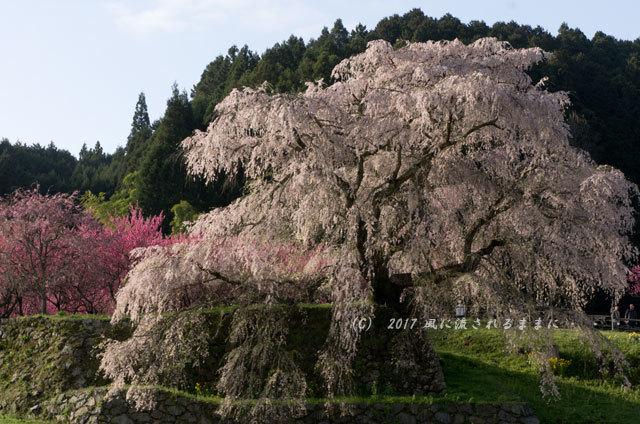 桜の情景 奈良・又兵衛桜