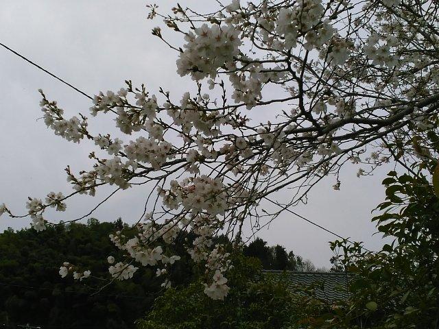 29410sakura.jpg