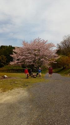 大田の桜20170416