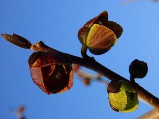 ポポーの花1