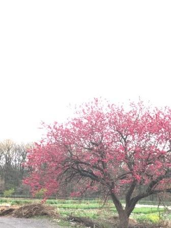2017桜saku
