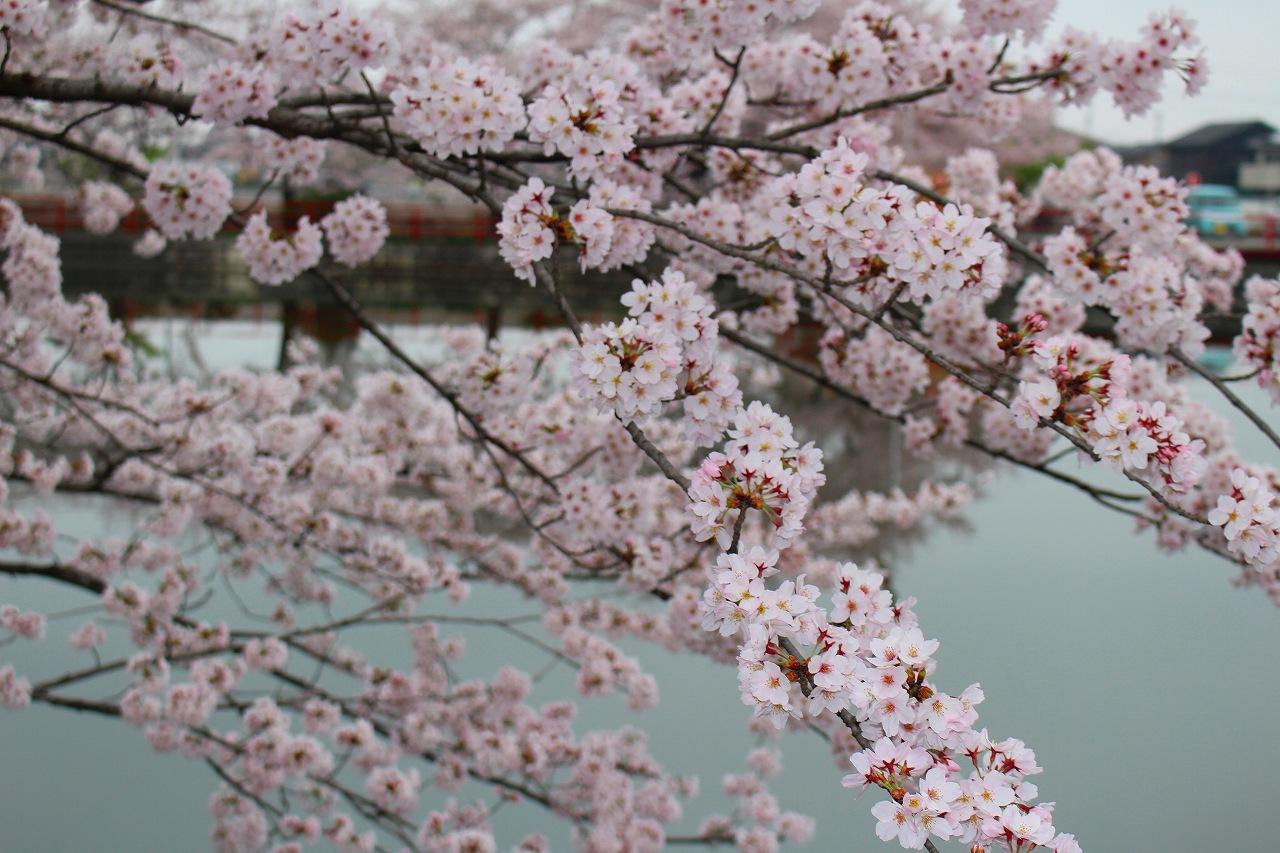 桜 白龍神社 (2)