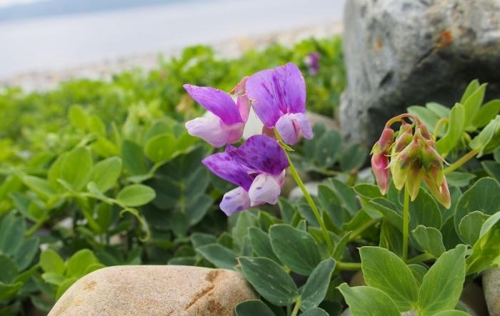 長目の浜に咲く花 1
