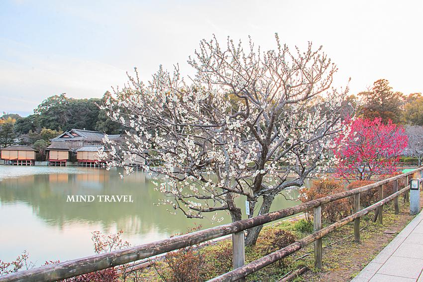 八条池 紅白の梅