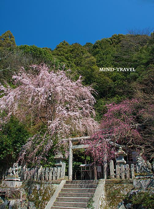 大豊神社 しだれ桜としだれ梅2