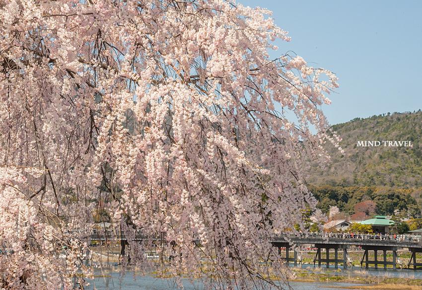 渡月橋 しだれ桜