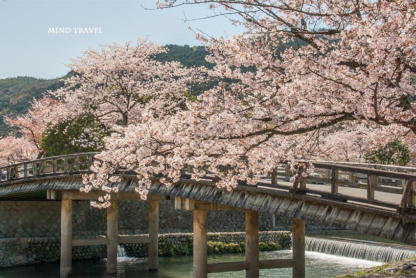渡月小橋 桜