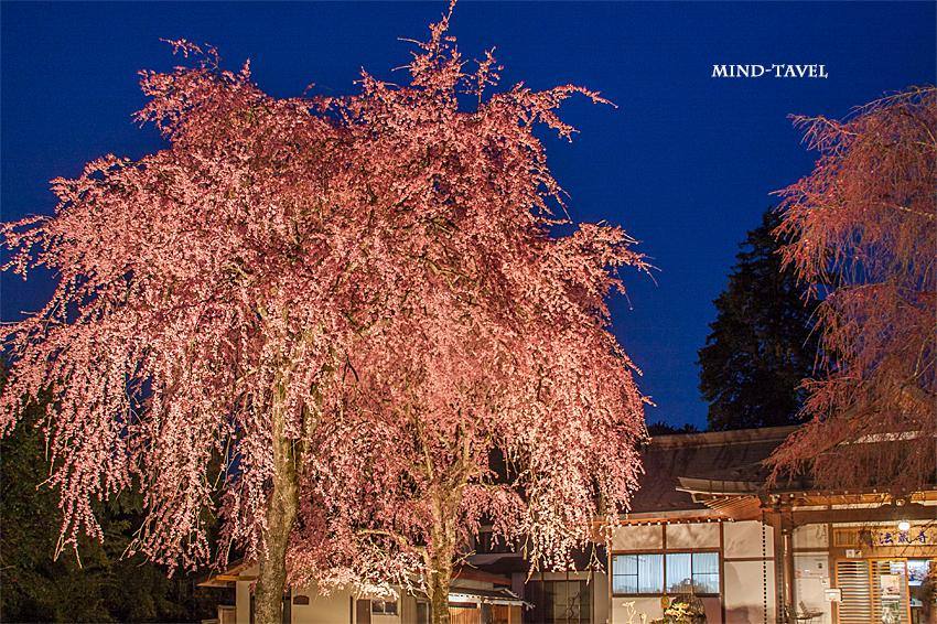 法蔵寺 しだれ桜 ライトアップ