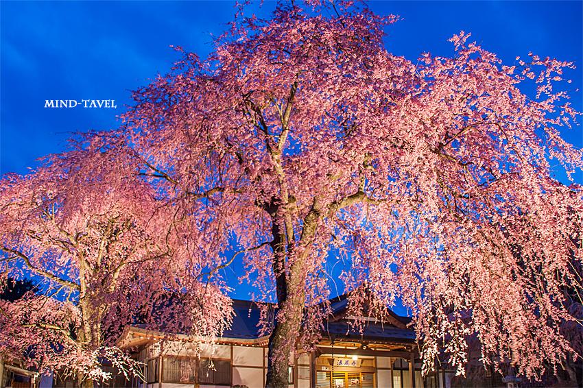 法蔵寺 しだれ桜 ライトアップ2