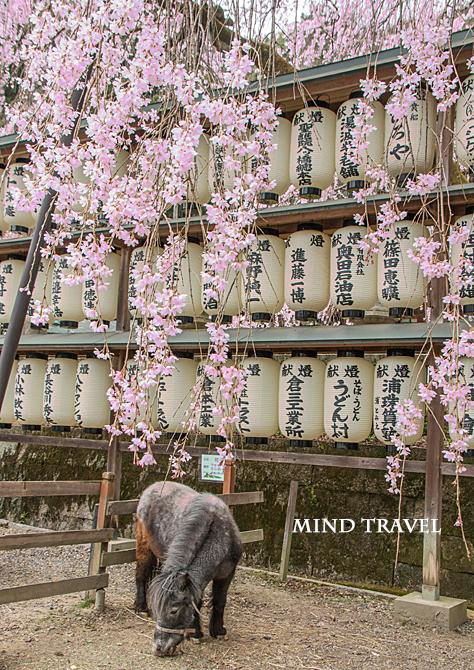 大石神社 しだれ桜 ポニー