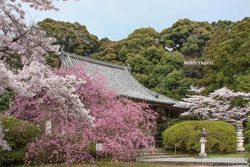 長岳寺 本堂 桜